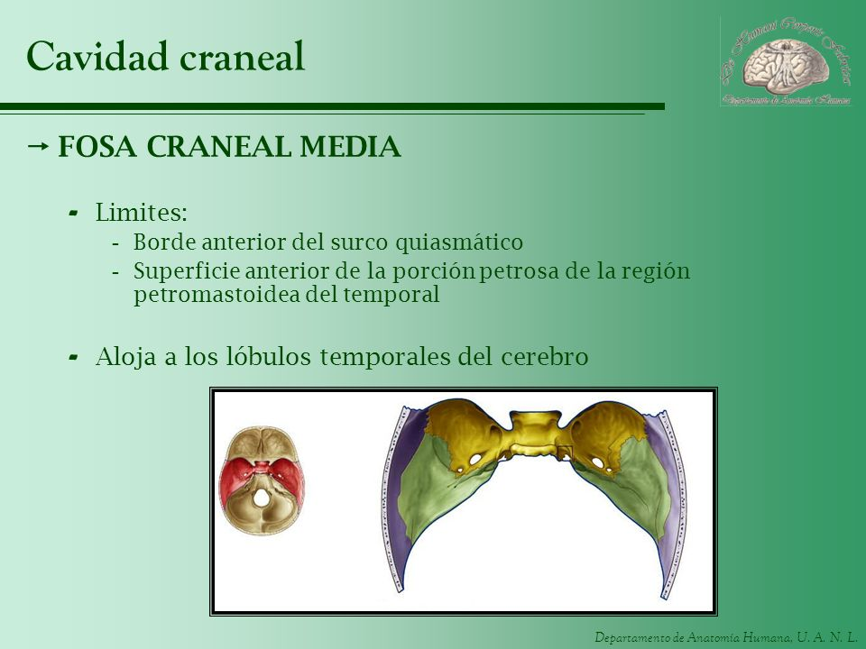 Departamento de Anatomía Humana, U. A. N. L. Cavidad craneal FOSA CRANEAL MEDIA - Limites: -Borde anterior del surco quiasmático -Superficie anterior