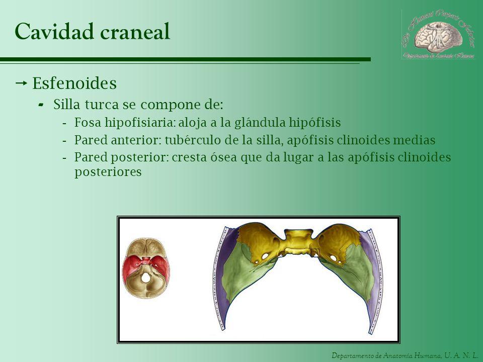 Departamento de Anatomía Humana, U. A. N. L. Cavidad craneal Esfenoides - Silla turca se compone de: -Fosa hipofisiaria: aloja a la glándula hipófisis