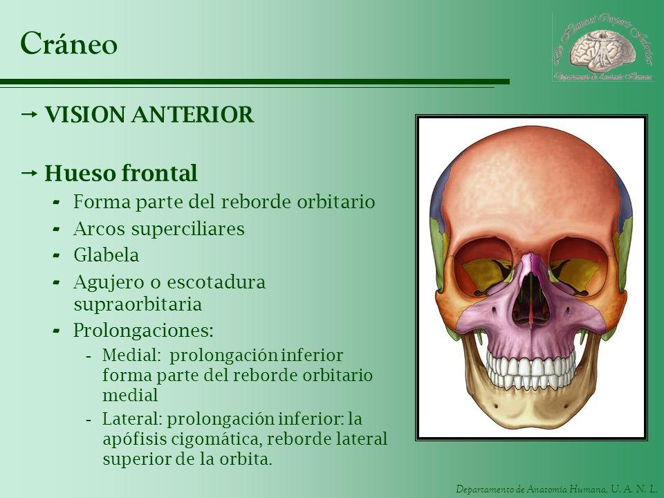 Departamento de Anatomía Humana, U. A. N. L. Cráneo VISION ANTERIOR Hueso frontal - Forma parte del reborde orbitario - Arcos superciliares - Glabela