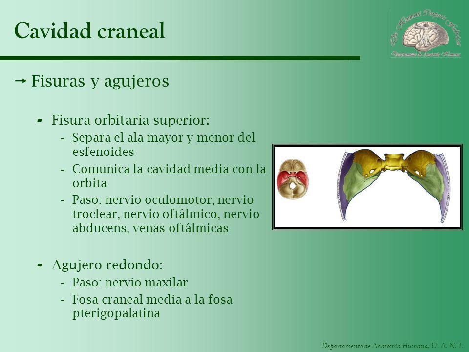 Departamento de Anatomía Humana, U. A. N. L. Cavidad craneal Fisuras y agujeros - Fisura orbitaria superior: -Separa el ala mayor y menor del esfenoid