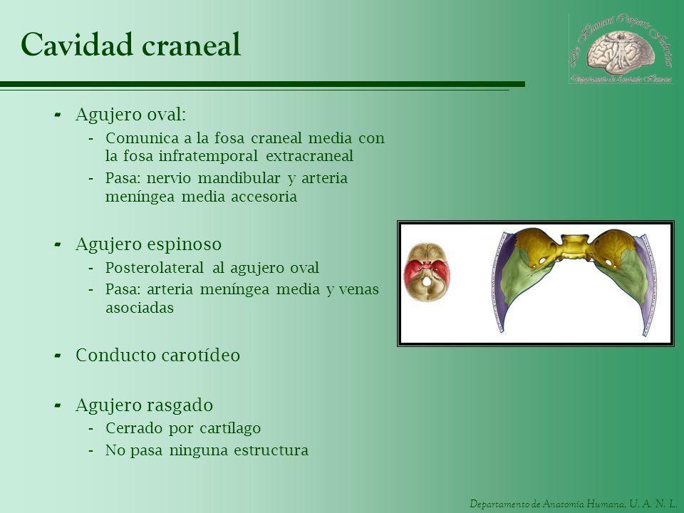 Departamento de Anatomía Humana, U. A. N. L. Cavidad craneal - Agujero oval: -Comunica a la fosa craneal media con la fosa infratemporal extracraneal