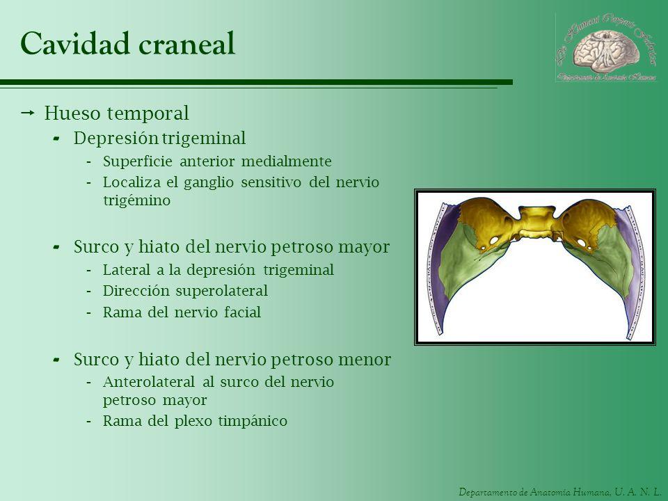 Departamento de Anatomía Humana, U. A. N. L. Cavidad craneal Hueso temporal - Depresión trigeminal -Superficie anterior medialmente -Localiza el gangl