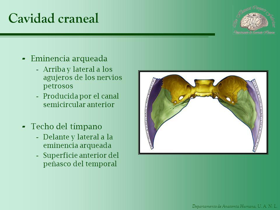 Departamento de Anatomía Humana, U. A. N. L. Cavidad craneal - Eminencia arqueada -Arriba y lateral a los agujeros de los nervios petrosos -Producida