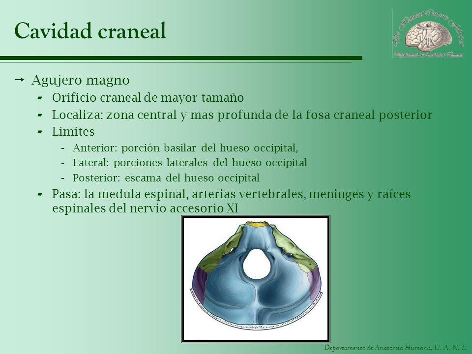 Departamento de Anatomía Humana, U. A. N. L. Cavidad craneal Agujero magno - Orificio craneal de mayor tamaño - Localiza: zona central y mas profunda