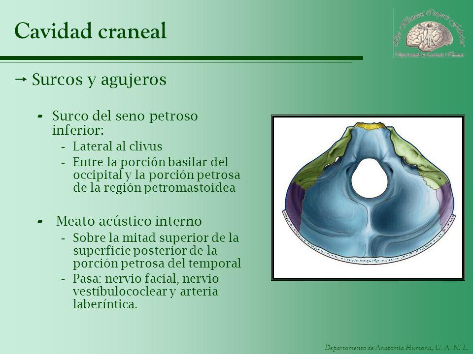 Departamento de Anatomía Humana, U. A. N. L. Cavidad craneal Surcos y agujeros - Surco del seno petroso inferior: -Lateral al clivus -Entre la porción