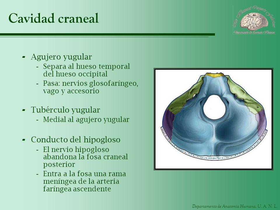 Departamento de Anatomía Humana, U. A. N. L. Cavidad craneal - Agujero yugular -Separa al hueso temporal del hueso occipital -Pasa: nervios glosofarín