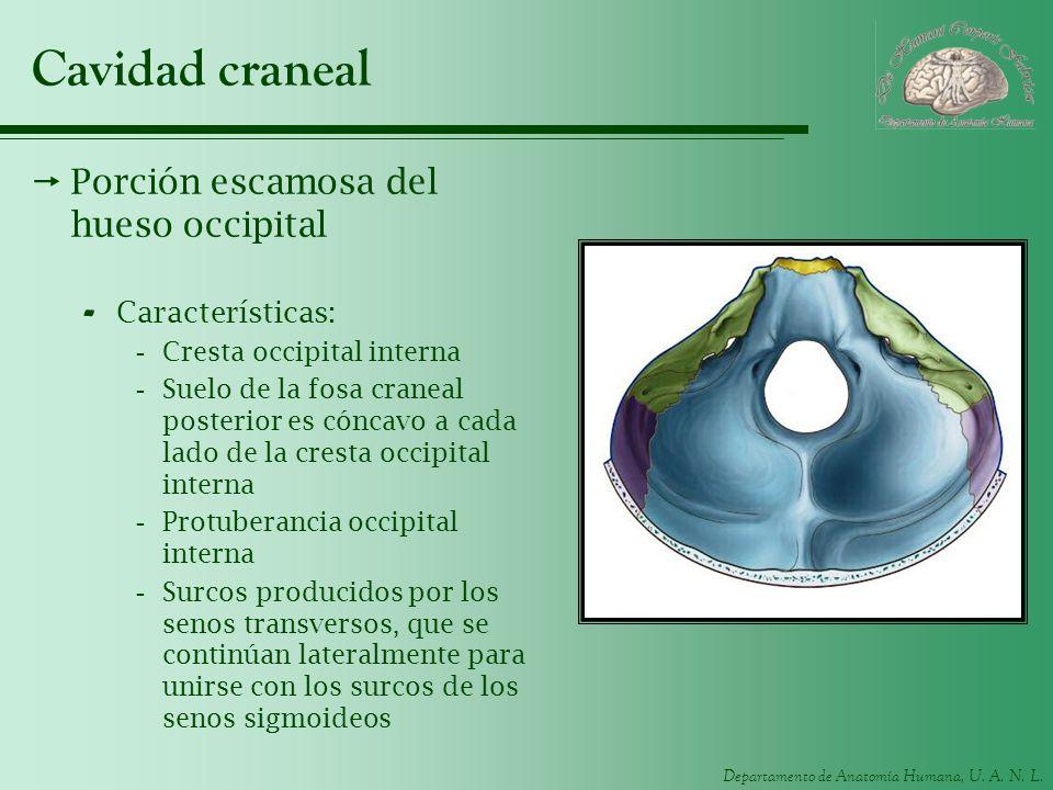 Departamento de Anatomía Humana, U. A. N. L. Cavidad craneal Porción escamosa del hueso occipital - Características: -Cresta occipital interna -Suelo