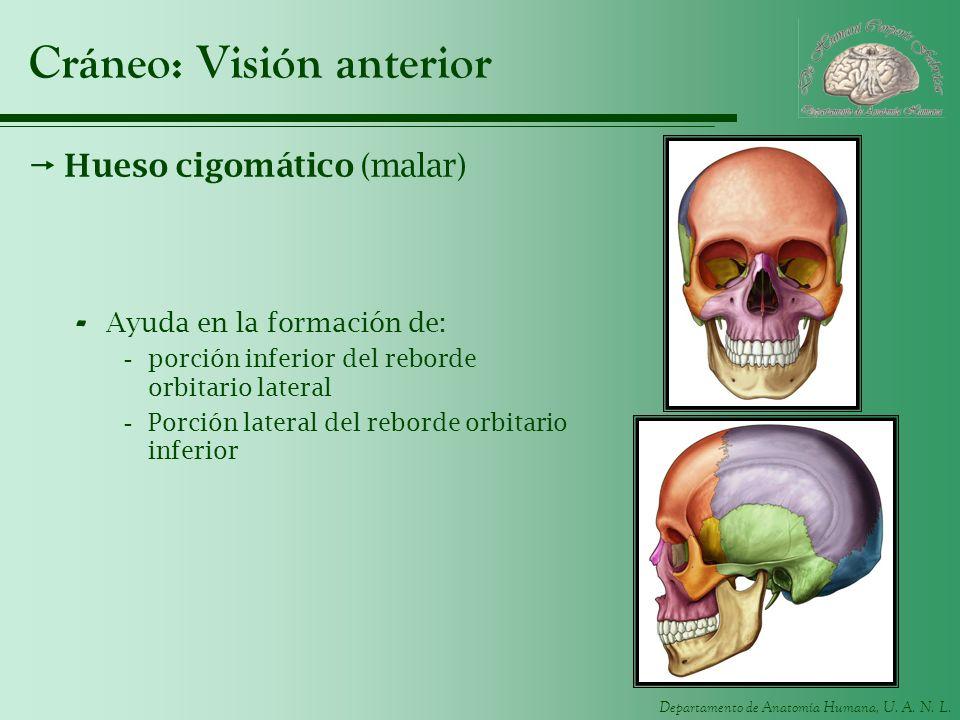 Departamento de Anatomía Humana, U. A. N. L. Cráneo: Visión anterior Hueso cigomático (malar) - Ayuda en la formación de: -porción inferior del rebord