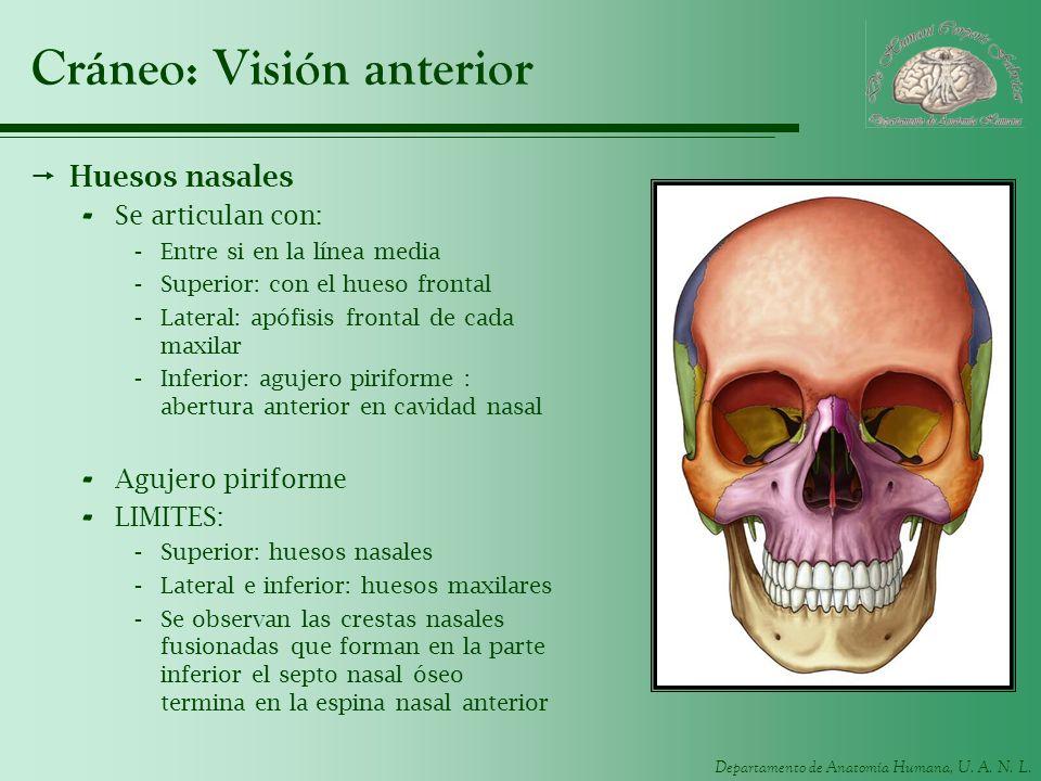 Departamento de Anatomía Humana, U. A. N. L. Cráneo: Visión anterior Huesos nasales - Se articulan con: -Entre si en la línea media -Superior: con el