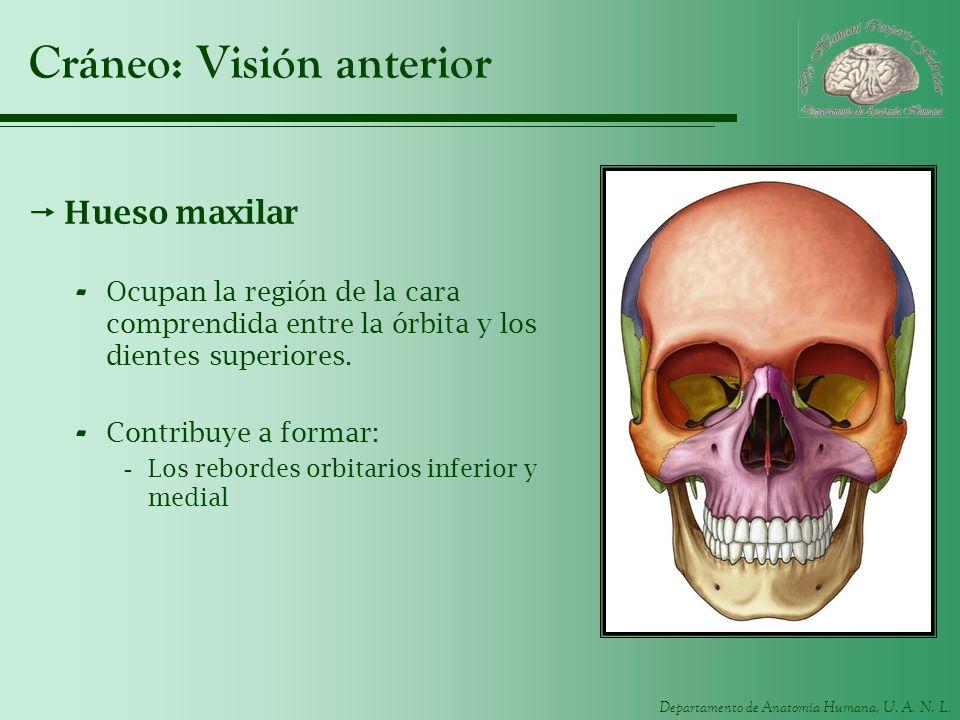 Departamento de Anatomía Humana, U. A. N. L. Cráneo: Visión anterior Hueso maxilar - Ocupan la región de la cara comprendida entre la órbita y los die