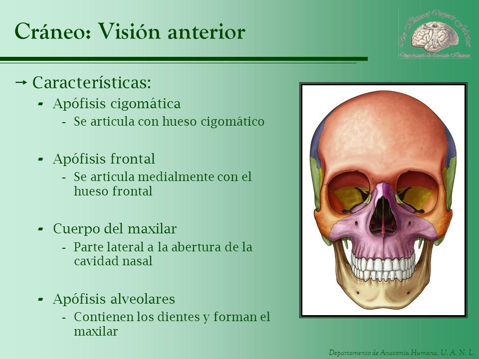Departamento de Anatomía Humana, U. A. N. L. Cráneo: Visión anterior Características: - Apófisis cigomática -Se articula con hueso cigomático - Apófis