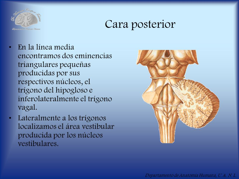 Departamento de Anatomía Humana, U. A. N. L. Cara posterior En la línea media encontramos dos eminencias triangulares pequeñas producidas por sus resp