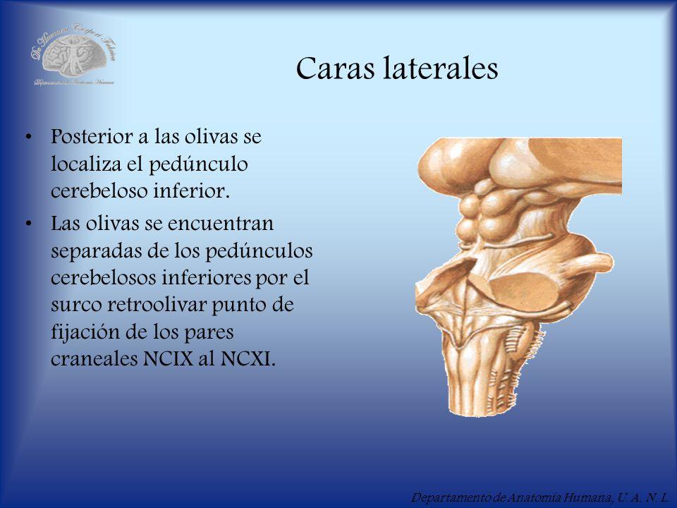 Departamento de Anatomía Humana, U. A. N. L. Caras laterales Posterior a las olivas se localiza el pedúnculo cerebeloso inferior. Las olivas se encuen
