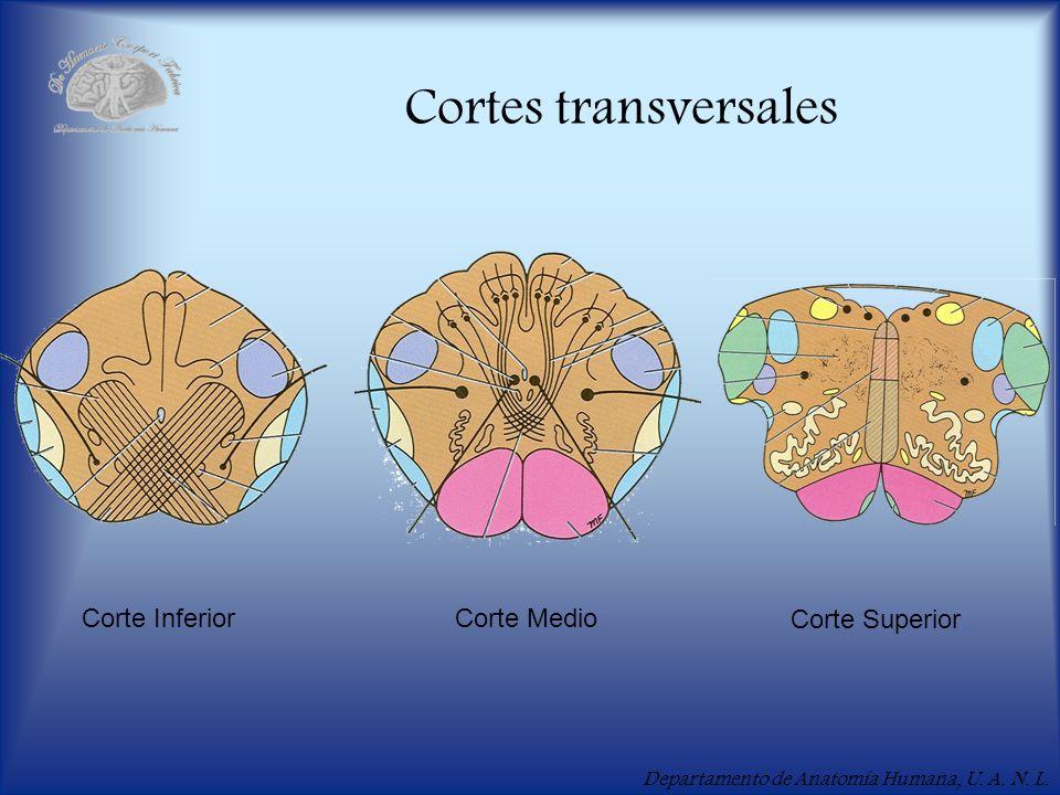 Departamento de Anatomía Humana, U. A. N. L. Cortes transversales Corte Inferior Corte Medio Corte Superior