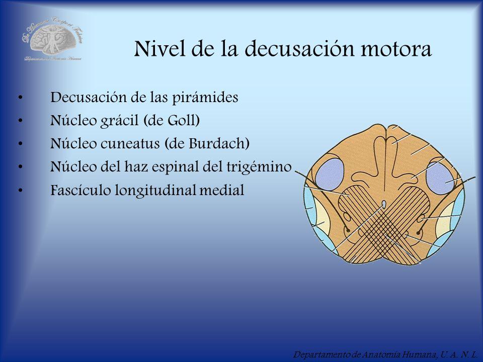 Departamento de Anatomía Humana, U. A. N. L. Nivel de la decusación motora Decusación de las pirámides Núcleo grácil (de Goll) Núcleo cuneatus (de Bur