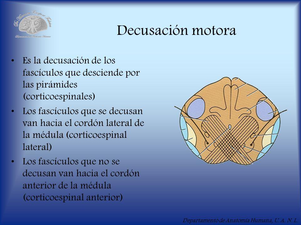 Departamento de Anatomía Humana, U. A. N. L. Decusación motora Es la decusación de los fascículos que desciende por las pirámides (corticoespinales) L
