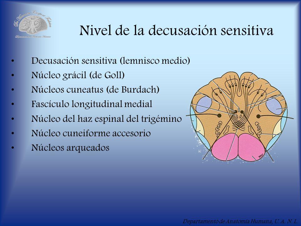 Departamento de Anatomía Humana, U. A. N. L. Nivel de la decusación sensitiva Decusación sensitiva (lemnisco medio) Núcleo grácil (de Goll) Núcleos cu