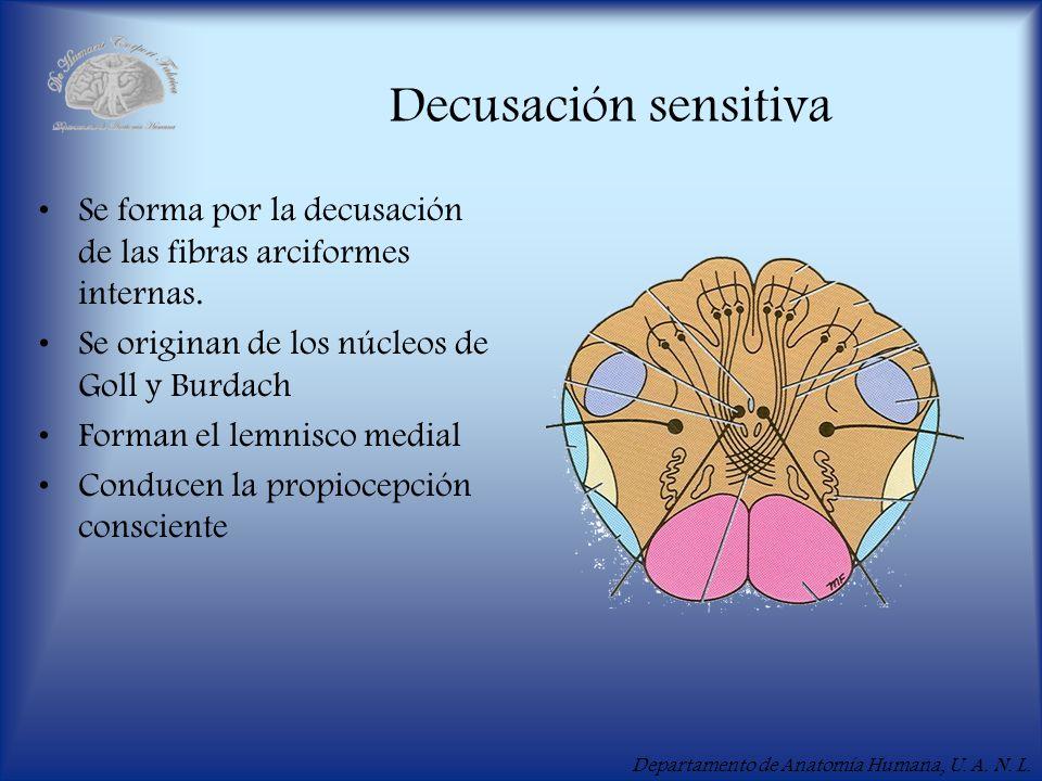 Departamento de Anatomía Humana, U. A. N. L. Decusación sensitiva Se forma por la decusación de las fibras arciformes internas. Se originan de los núc
