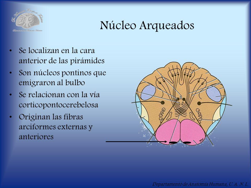 Departamento de Anatomía Humana, U. A. N. L. Núcleo Arqueados Se localizan en la cara anterior de las pirámides Son núcleos pontinos que emigraron al