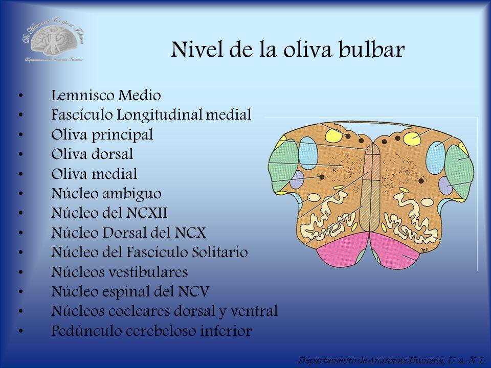 Departamento de Anatomía Humana, U. A. N. L. Nivel de la oliva bulbar Lemnisco Medio Fascículo Longitudinal medial Oliva principal Oliva dorsal Oliva