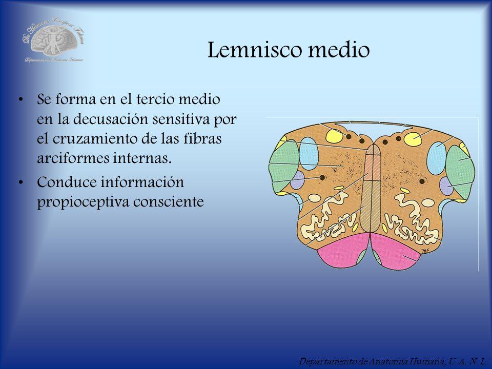 Departamento de Anatomía Humana, U. A. N. L. Lemnisco medio Se forma en el tercio medio en la decusación sensitiva por el cruzamiento de las fibras ar
