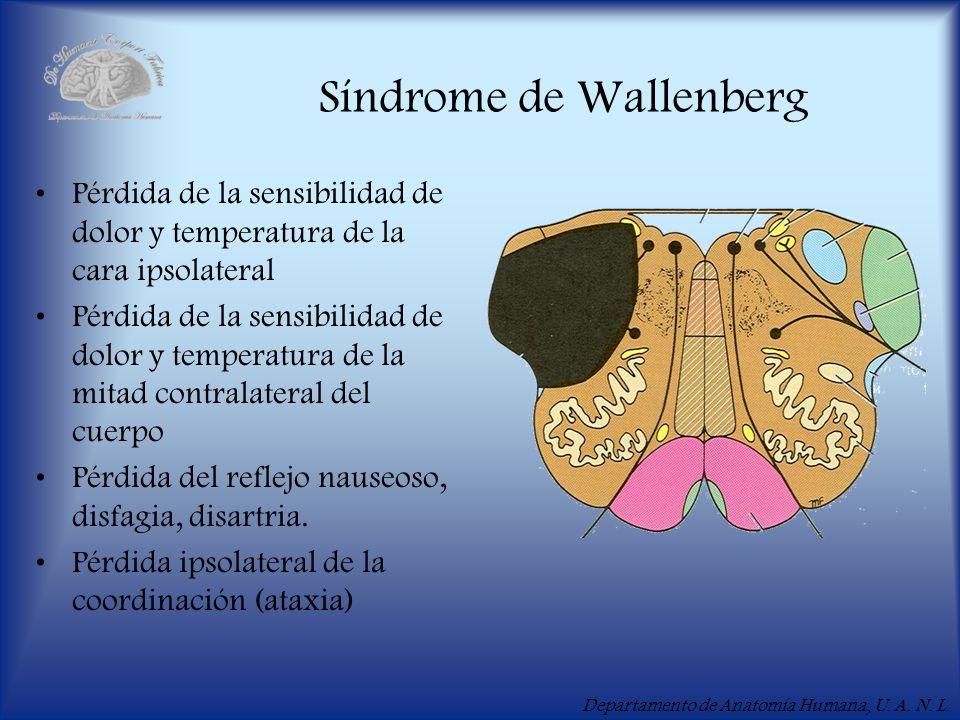Departamento de Anatomía Humana, U. A. N. L. Síndrome de Wallenberg Pérdida de la sensibilidad de dolor y temperatura de la cara ipsolateral Pérdida d