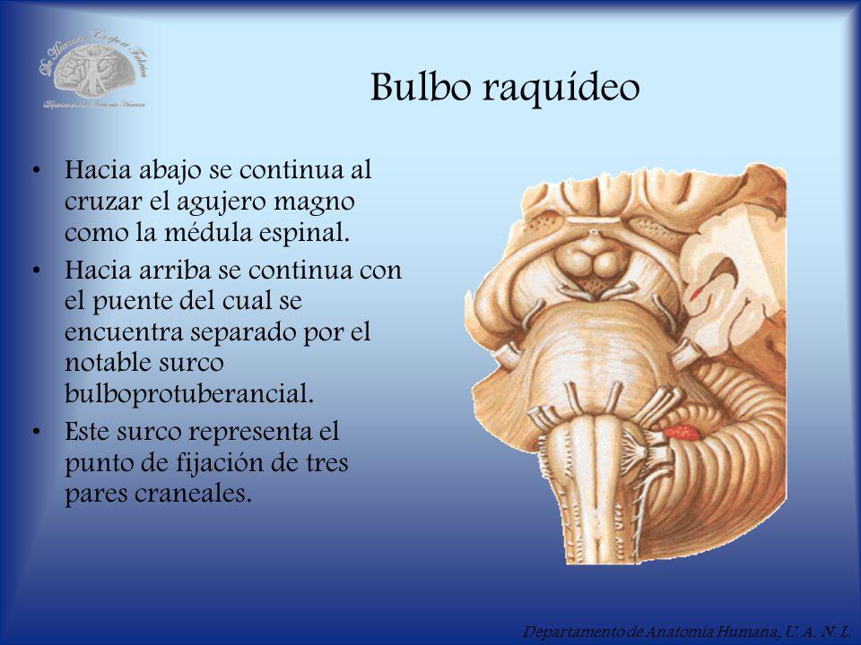 Departamento de Anatomía Humana, U. A. N. L. Bulbo raquídeo Hacia abajo se continua al cruzar el agujero magno como la médula espinal. Hacia arriba se