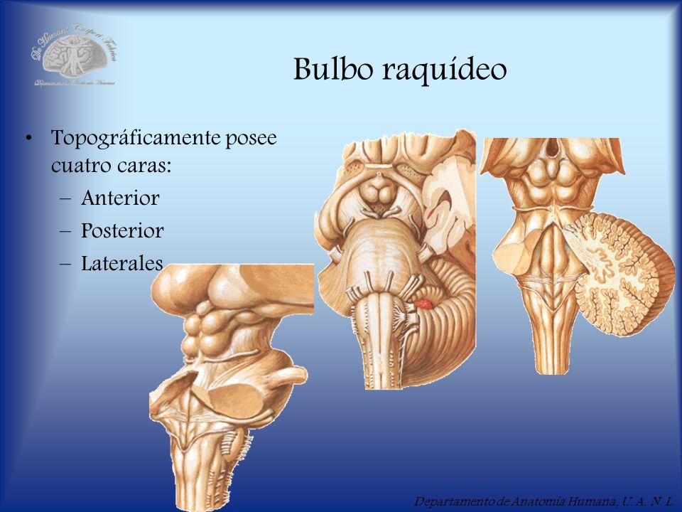 Departamento de Anatomía Humana, U. A. N. L. Bulbo raquídeo Topográficamente posee cuatro caras: –Anterior –Posterior –Laterales