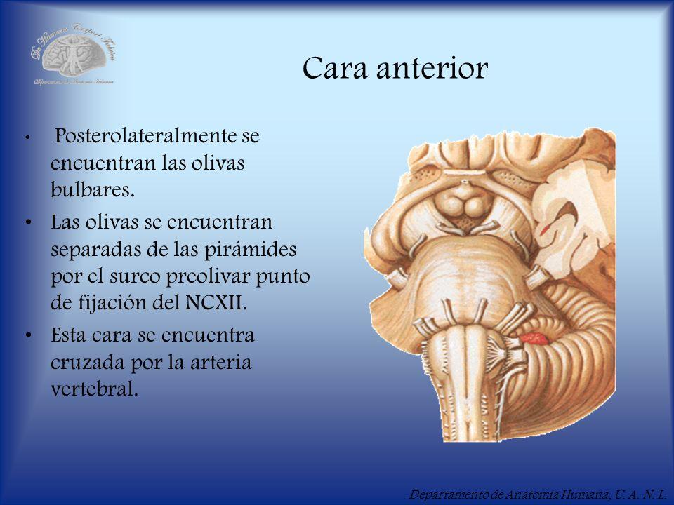 Departamento de Anatomía Humana, U. A. N. L. Cara anterior Posterolateralmente se encuentran las olivas bulbares. Las olivas se encuentran separadas d