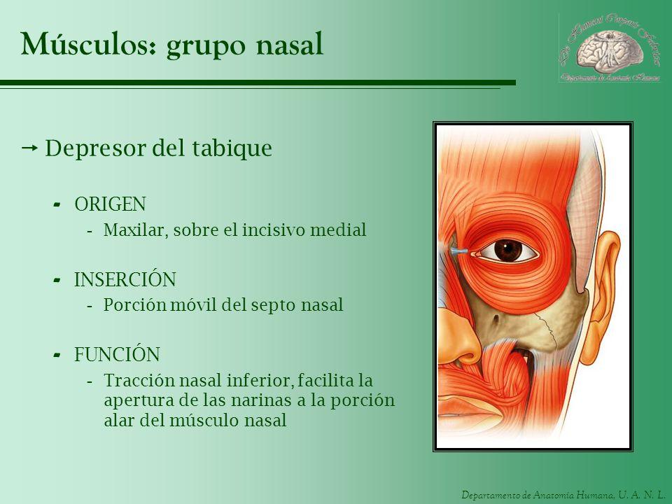 Departamento de Anatomía Humana, U. A. N. L. Músculos: grupo nasal Depresor del tabique - ORIGEN -Maxilar, sobre el incisivo medial - INSERCIÓN -Porci