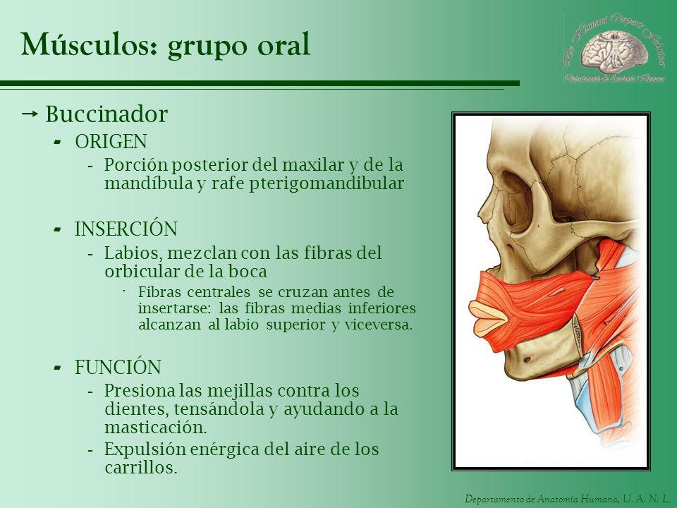 Departamento de Anatomía Humana, U. A. N. L. Músculos: grupo oral Buccinador - ORIGEN -Porción posterior del maxilar y de la mandíbula y rafe pterigom