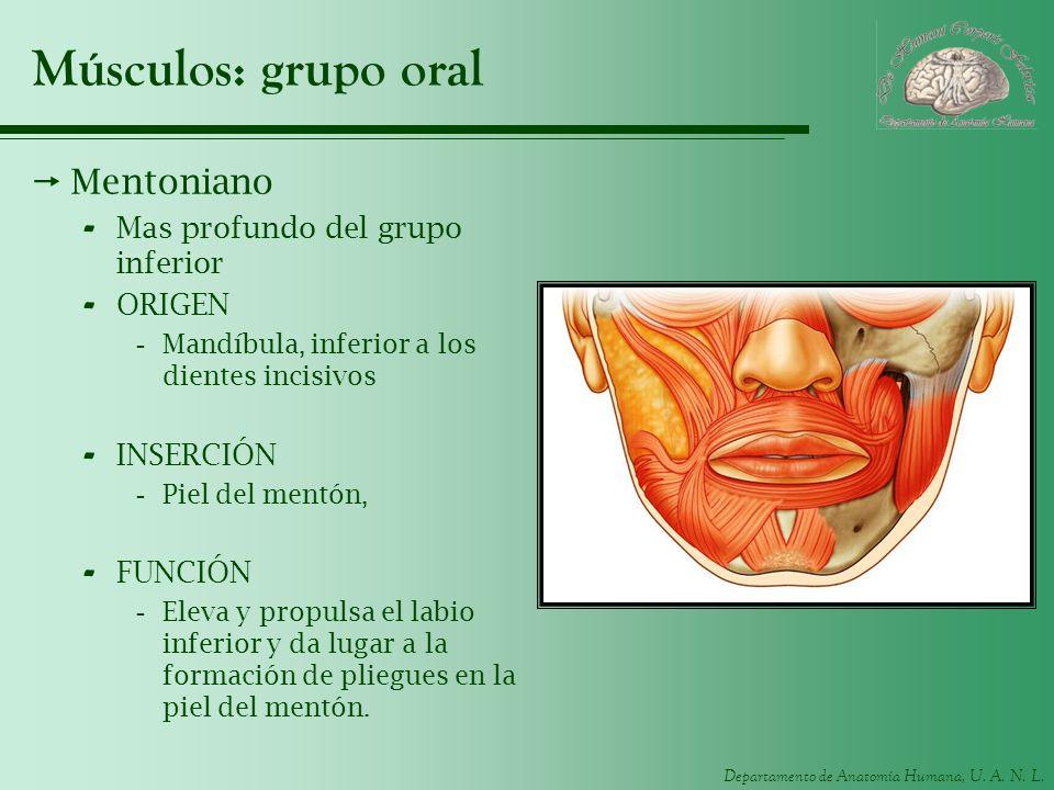 Departamento de Anatomía Humana, U. A. N. L. Músculos: grupo oral Mentoniano - Mas profundo del grupo inferior - ORIGEN -Mandíbula, inferior a los die
