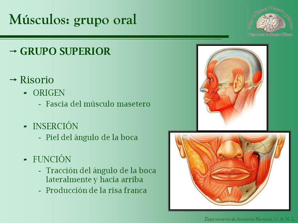 Departamento de Anatomía Humana, U. A. N. L. Músculos: grupo oral GRUPO SUPERIOR Risorio - ORIGEN -Fascia del músculo masetero - INSERCIÓN -Piel del á