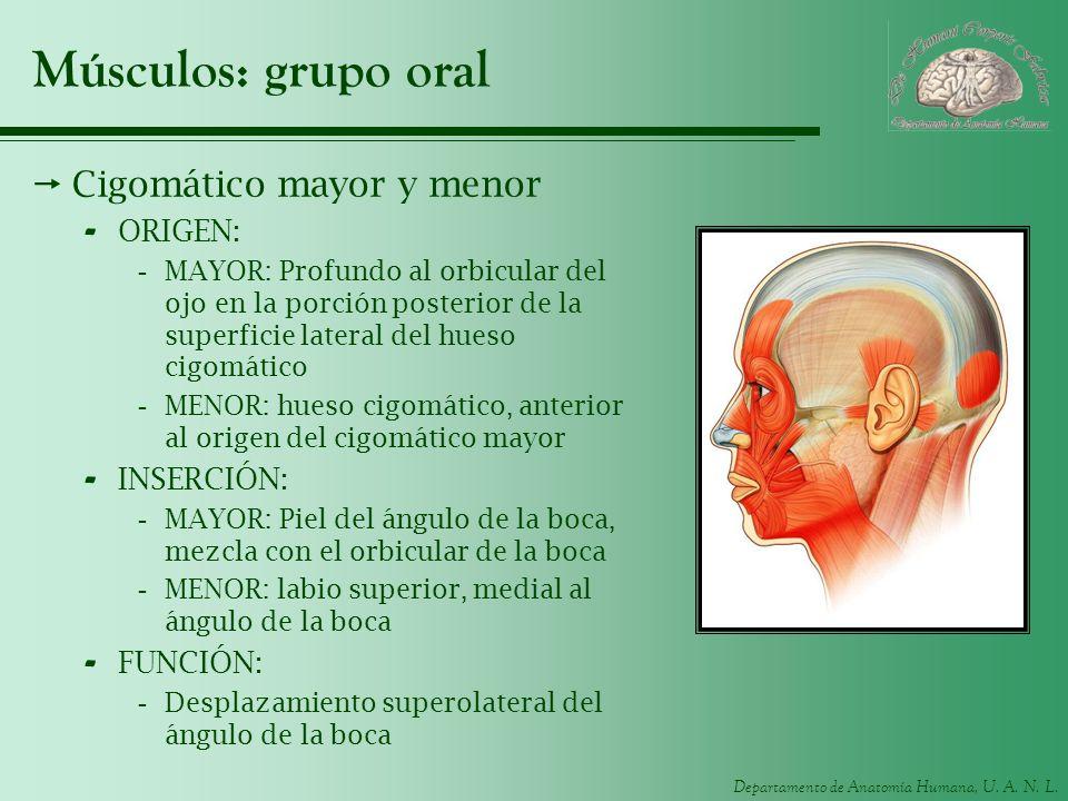 Departamento de Anatomía Humana, U. A. N. L. Músculos: grupo oral Cigomático mayor y menor - ORIGEN: -MAYOR: Profundo al orbicular del ojo en la porci