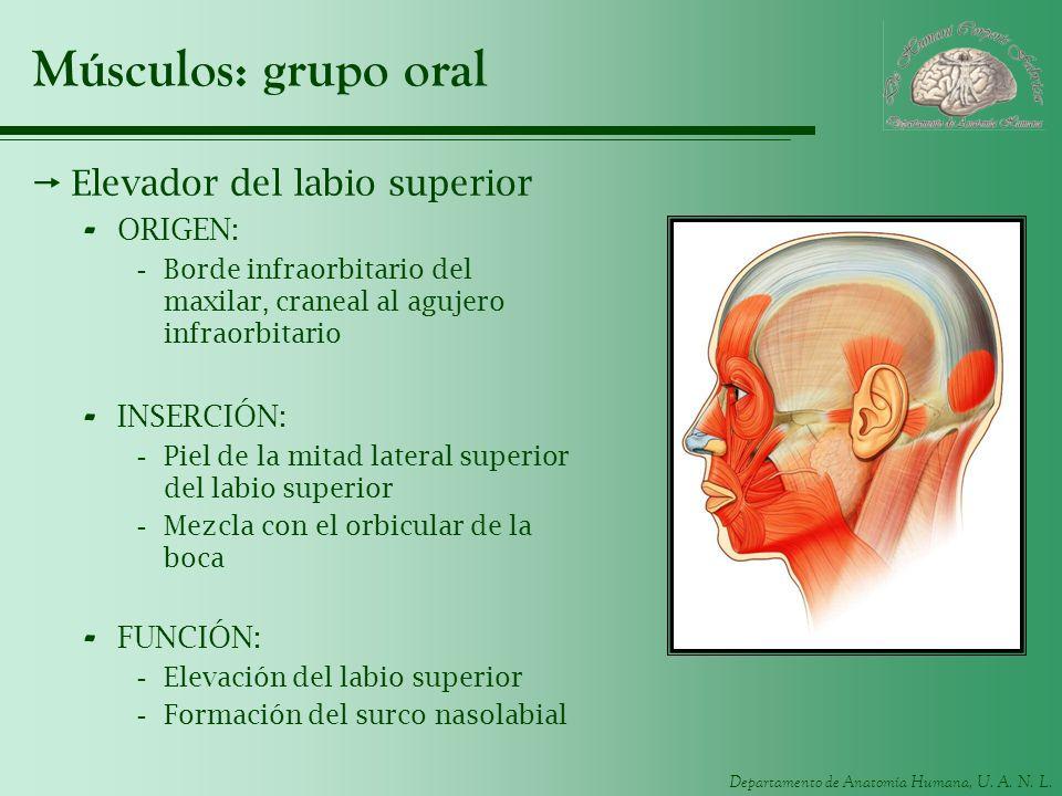 Departamento de Anatomía Humana, U. A. N. L. Músculos: grupo oral Elevador del labio superior - ORIGEN: -Borde infraorbitario del maxilar, craneal al