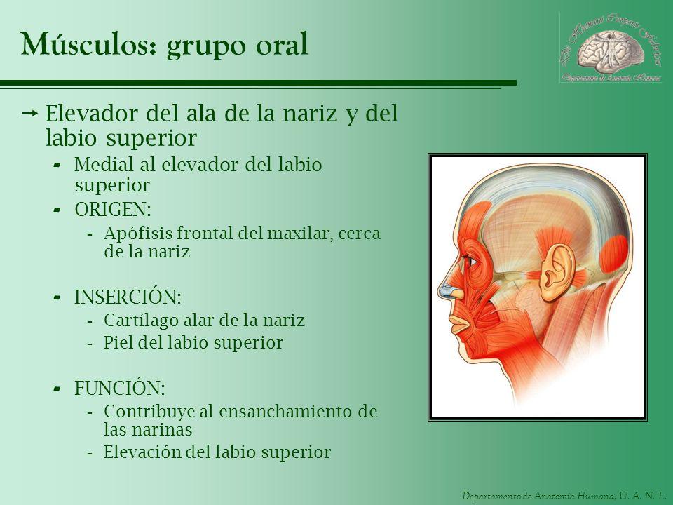 Departamento de Anatomía Humana, U. A. N. L. Músculos: grupo oral Elevador del ala de la nariz y del labio superior - Medial al elevador del labio sup