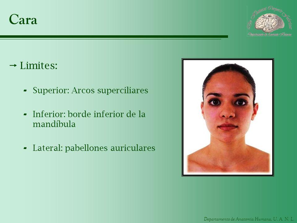 Departamento de Anatomía Humana, U. A. N. L. Cara Limites: - Superior: Arcos superciliares - Inferior: borde inferior de la mandíbula - Lateral: pabel