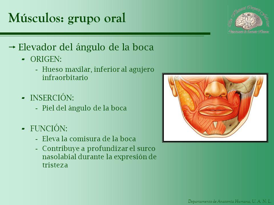 Departamento de Anatomía Humana, U. A. N. L. Músculos: grupo oral Elevador del ángulo de la boca - ORIGEN: -Hueso maxilar, inferior al agujero infraor