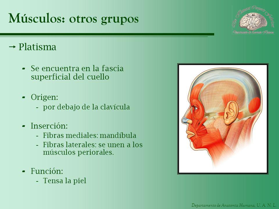 Departamento de Anatomía Humana, U. A. N. L. Músculos: otros grupos Platisma - Se encuentra en la fascia superficial del cuello - Origen: -por debajo