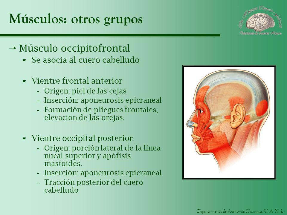 Departamento de Anatomía Humana, U. A. N. L. Músculos: otros grupos Músculo occipitofrontal - Se asocia al cuero cabelludo - Vientre frontal anterior