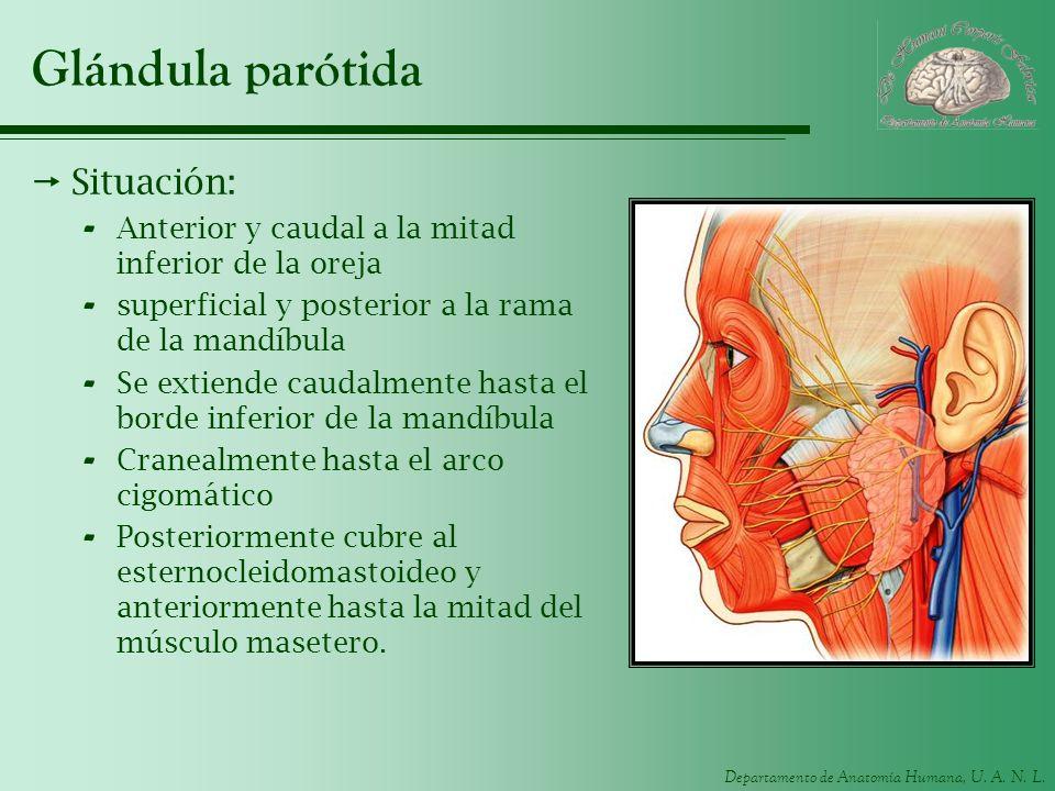 Departamento de Anatomía Humana, U. A. N. L. Glándula parótida Situación: - Anterior y caudal a la mitad inferior de la oreja - superficial y posterio