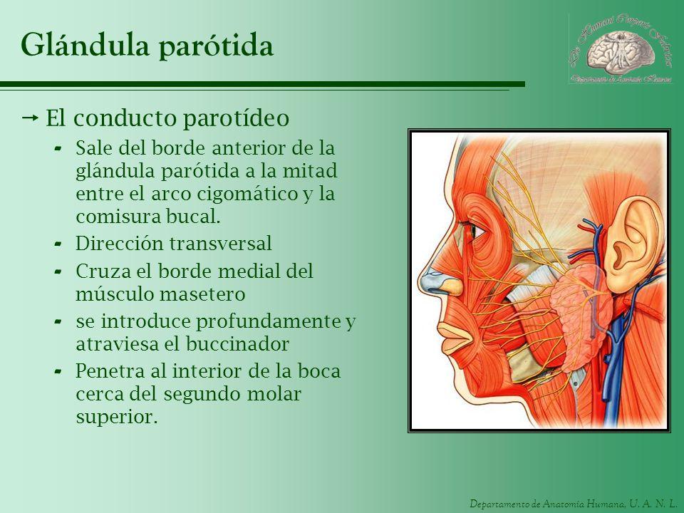 Departamento de Anatomía Humana, U. A. N. L. Glándula parótida El conducto parotídeo - Sale del borde anterior de la glándula parótida a la mitad entr