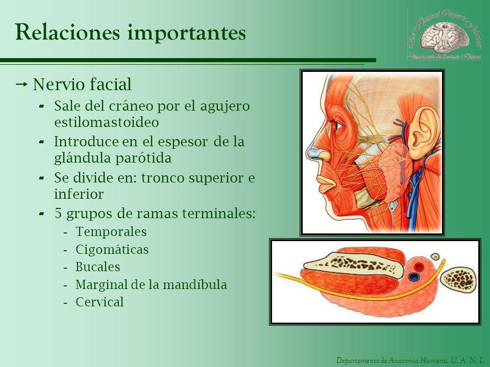 Departamento de Anatomía Humana, U. A. N. L. Relaciones importantes Nervio facial - Sale del cráneo por el agujero estilomastoideo - Introduce en el e