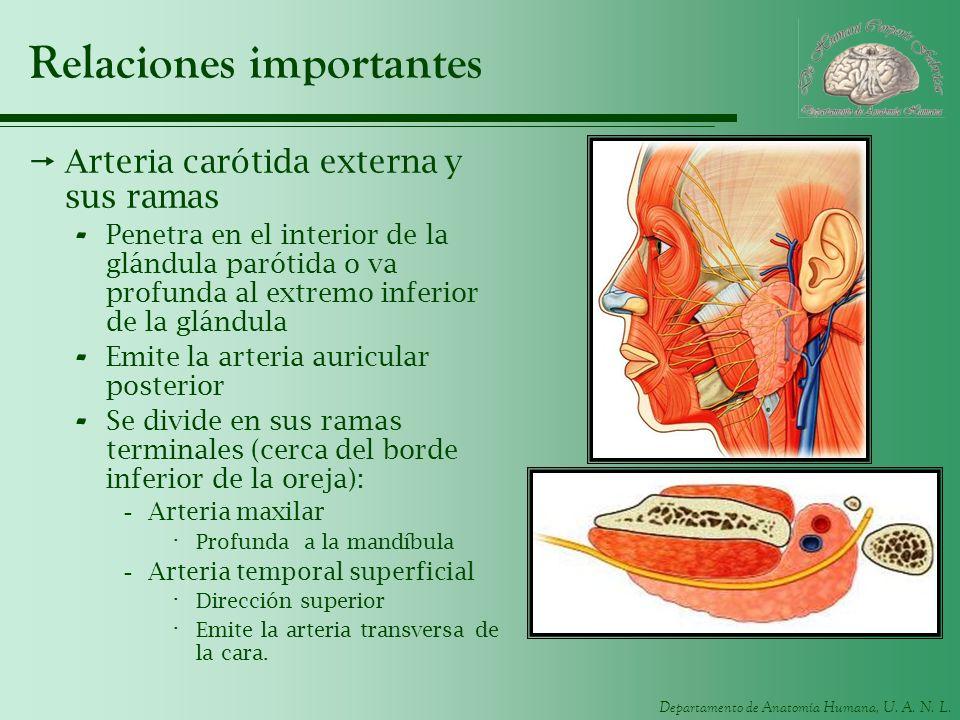 Departamento de Anatomía Humana, U. A. N. L. Relaciones importantes Arteria carótida externa y sus ramas - Penetra en el interior de la glándula parót
