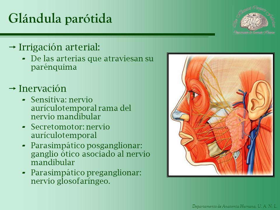 Departamento de Anatomía Humana, U. A. N. L. Glándula parótida Irrigación arterial: - De las arterias que atraviesan su parénquima Inervación - Sensit