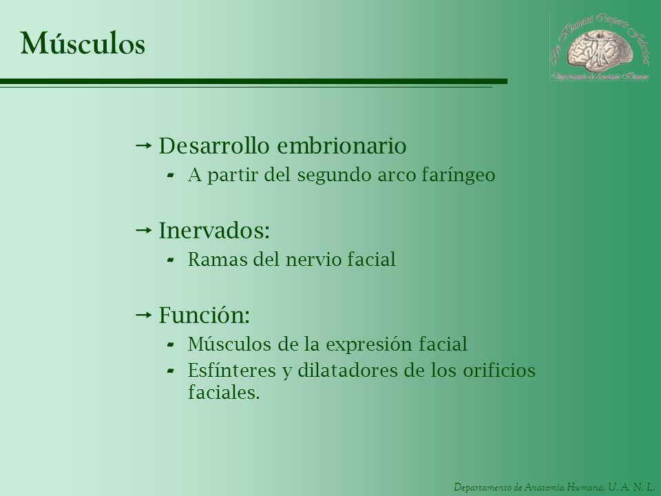 Departamento de Anatomía Humana, U. A. N. L. Músculos Desarrollo embrionario - A partir del segundo arco faríngeo Inervados: - Ramas del nervio facial
