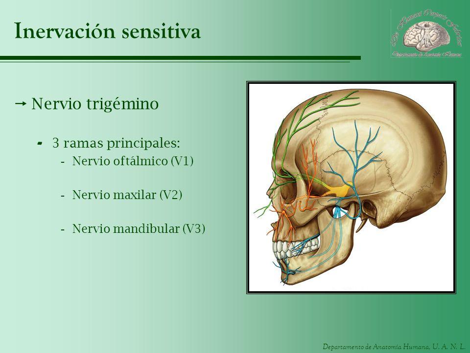 Departamento de Anatomía Humana, U. A. N. L. Inervación sensitiva Nervio trigémino - 3 ramas principales: -Nervio oftálmico (V1) -Nervio maxilar (V2)