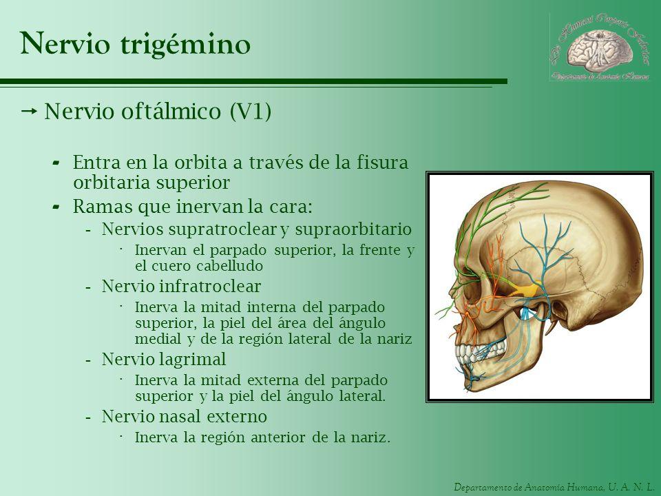 Departamento de Anatomía Humana, U. A. N. L. Nervio trigémino Nervio oftálmico (V1) - Entra en la orbita a través de la fisura orbitaria superior - Ra