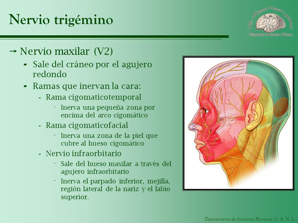 Departamento de Anatomía Humana, U. A. N. L. Nervio trigémino Nervio maxilar (V2) - Sale del cráneo por el agujero redondo - Ramas que inervan la cara