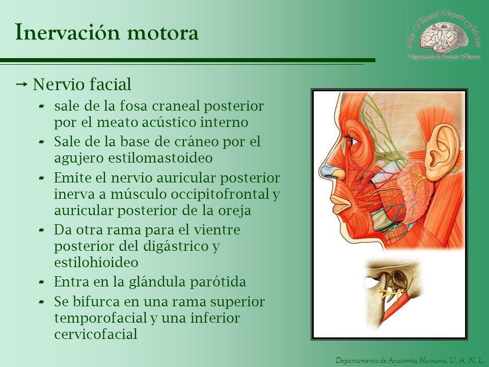 Departamento de Anatomía Humana, U. A. N. L. Inervación motora Nervio facial - sale de la fosa craneal posterior por el meato acústico interno - Sale